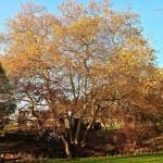El 'look' otoñal del árbol que da más sombra de Santander