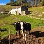 Vacas que te miran a los ojos