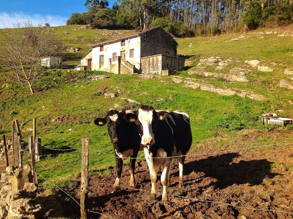 vacas-que-te-miran-a-los-ojos