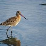 ¿Sabes cuántas aves pasan el inverno en las marismas de Santoña?