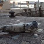 El temporal arrastra a bebés foca a la costa de Cantabria y País Vasco