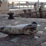 Una nueva foca aparece en el embarcadero del muelle Calderon