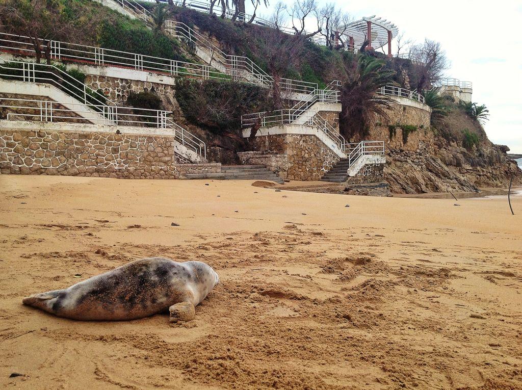 foca-santander-piquio