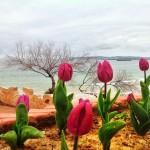 Tulipanes con vistas al mar