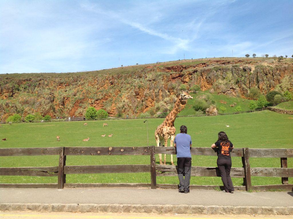 cabarceno-jirafas