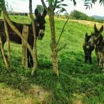 De burros y vacas