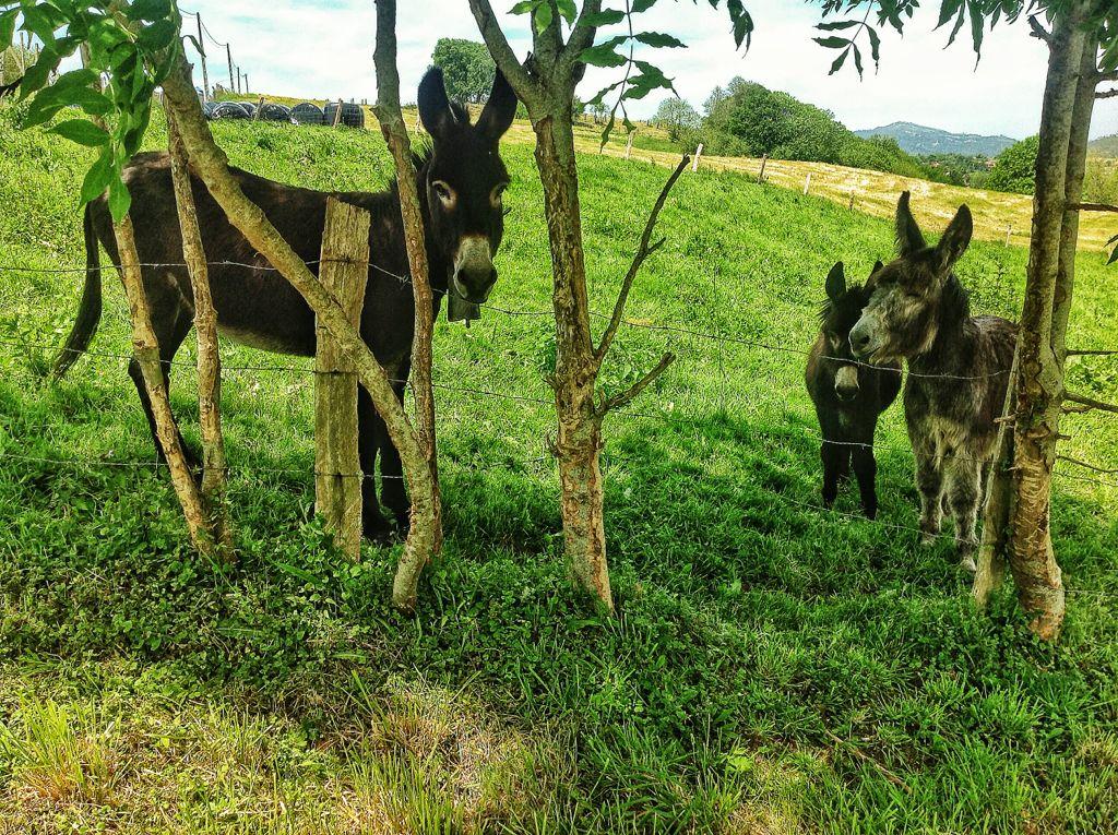 burros-cantabria