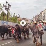 La pasá tudanca de Santander. Vacas, terneros y el sonar de los campanos