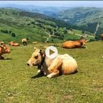 Vacas pastando plácidamente en los Valles Pasiegos