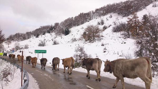 cantabria-vacas-fran-gonzalez