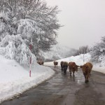 Liébana desde Piedrasluengas. Paisaje nevado. Vacas en la carretera