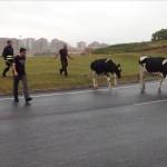 Unas vacas se cuelan en una rotonda de la S20 y son rescatadas por los bomberos