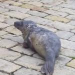 Aparece una foca con una aleta herida en Puertochico
