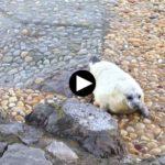 La foca de la Magdalena va cogiendo peso