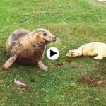 Así ha parido hoy una de las focas de la Magdalena