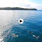 Una manada de delfines disfrutando en Oyambre