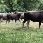 La ganadería ecológica La Lejuca y la Caseta de Bombas recuperan los sabores de siempre de la carne de Cantabria