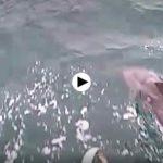 Los delfines que se han dado una vuelta por la bahía surfeando con una embarcación