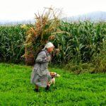 Recogiendo maíz como en los viejos tiempos en los Valles Pasiegos