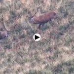 Lucha de ciervos en el Saja