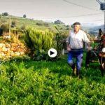 La vida en los Valles Pasiegos: Recogiendo las panojas