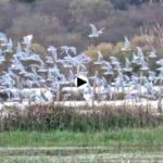 Gaviotas reidoras y otras aves en las Marismas del Conde de la ría de Cubas