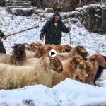 La Muda pasiega de las ovejas carranzanas