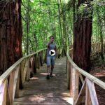El bosque de secuoyas de Cabezón de la Sal es una rara avis del norte de España