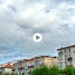 Las gaviotas andan revueltas por los tejado del paseo Pereda