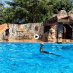 Las piruetas de los leones marinos en Cabárceno