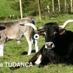 ¿Qué razas de vacas viven y pastan en Cantabria?