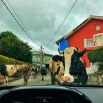 Vacas en las carreterucas de Liencres