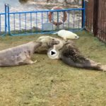 La mama protegiendo a su bebé foca recién nacido