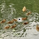 Escenas tiernas… Cómo crecen los patitos del estanque de Mataleñas