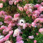 Los rosales del parque de Mataleñas
